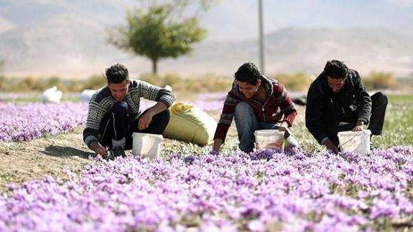 صادرات 118میلیون دلاری زعفران