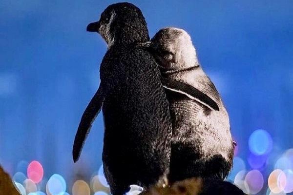 پنگوئن هایی که جهانی شدند