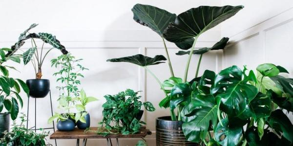 ده گیاه آپارتمانی غول پیکر